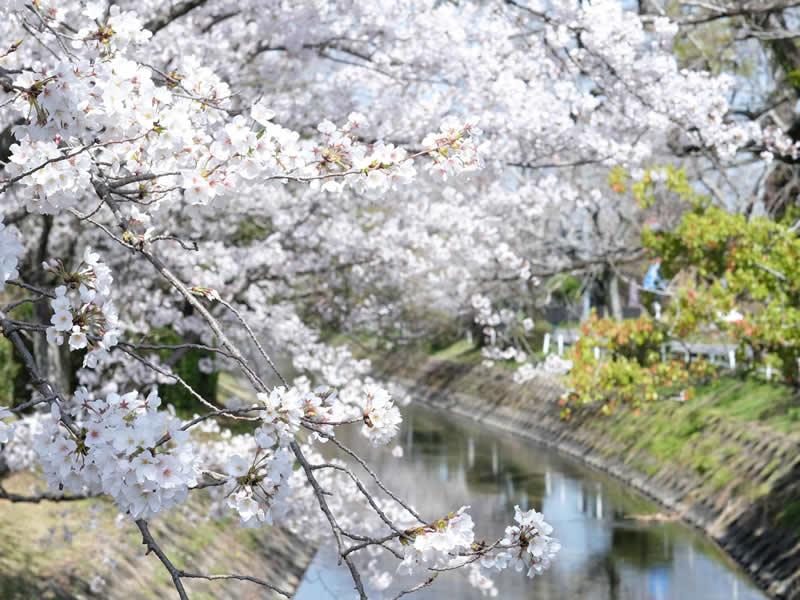 多布施川桜
